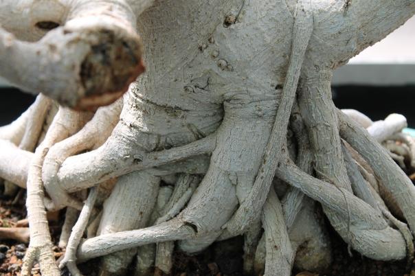 Bonsai roots