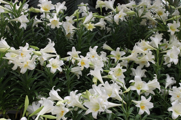Easter Lilies everywhere!