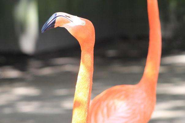 Lovely flamingo.  They were very vocal.