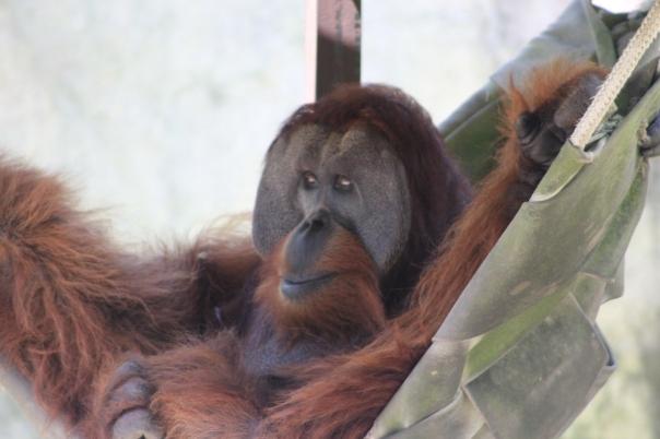Orangutan hanging in a hammock.