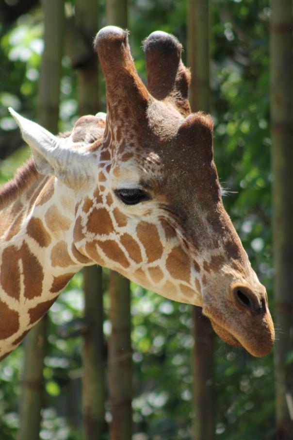 I love giraffes.